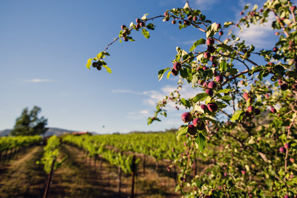 Julian, CA is Cool | Wineries in Julian, CA | Julian, CA Apples
