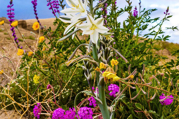 Spring Blooms in the Anza-Borrego Desert | Desert Wildflowers