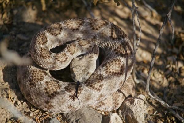 Snakes in the Anza Borrego Desert   Snake Safety